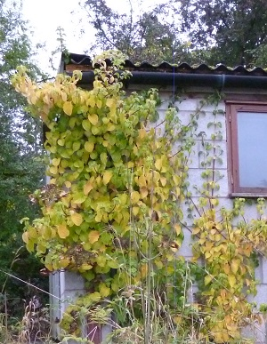 our climbing hydrangea has been in the ground ages, on a north facing wall, but only just coming into it's own since we cut down the pussy/goat willow that was cramping it