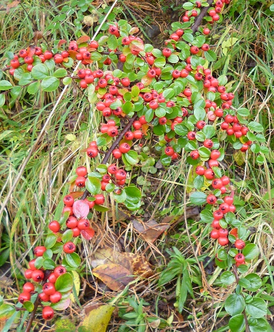 berries galore on the cotoneaster horizontalis growing on a steep sandy west facing bank