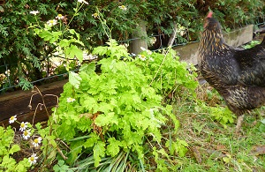 lime green feverfew still flowering, how does it do it? One of our two hens, bronze, they always follow me around the garden when I'm outside, waiting to massacre the worms I disturb
