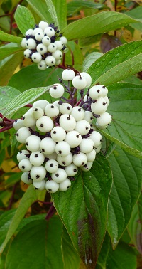dogwood's berries are not often mentioned but the large bunches are easy to see from a distance