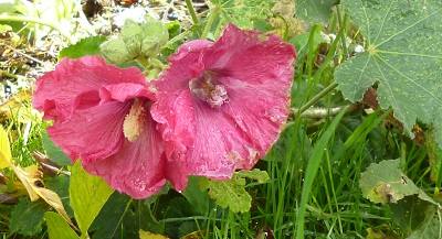 the one lovely pink hollyhock fell over onto the grass, careful with the lawnmower