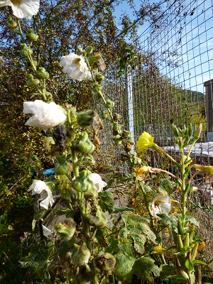evening primrose and white hollyhocks