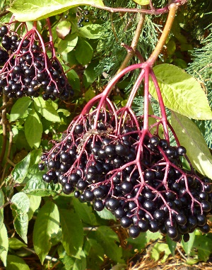 elderberries, the pigeons have usually finished them by now, in previous years TOPCOE has made elderberry and clove cordial, yummy