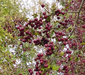 the hawthorn has gone mad this year, never seen so many berries