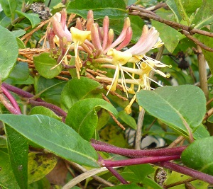 honeysuckle has been flowering for so long, started early, finishing late, we have loads of lovely berries on it too