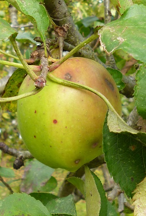 our apples are often all green, with the long warm summer we have a hint of red, anyone got a cure for the black blotches... calcium? magnesium? iron?