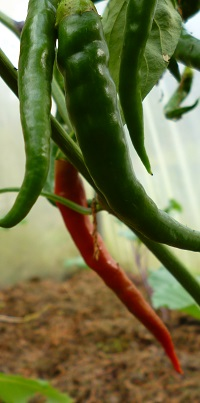 cayenne peppers ripening in the poly tunnel